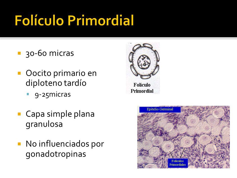 Requerida para la transición de folículo preantral a antral Elevación de la FSH para iniciar la maduración folicular Promueve la división de las células de la granulosa Incrementa el numero de uniones Gap