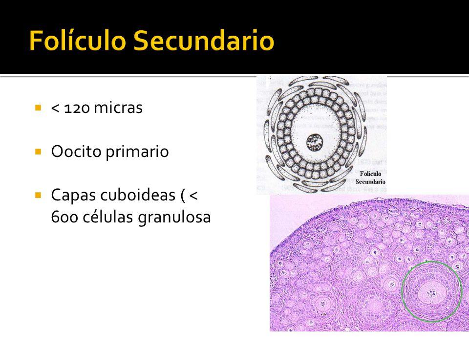 < 120 micras Oocito primario Capas cuboideas ( < 600 células granulosa