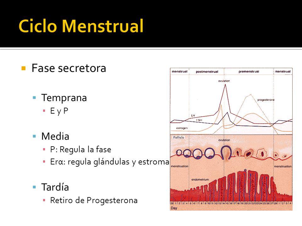 Fase secretora Temprana E y P Media P: Regula la fase Erα: regula glándulas y estroma Tardía Retiro de Progesterona