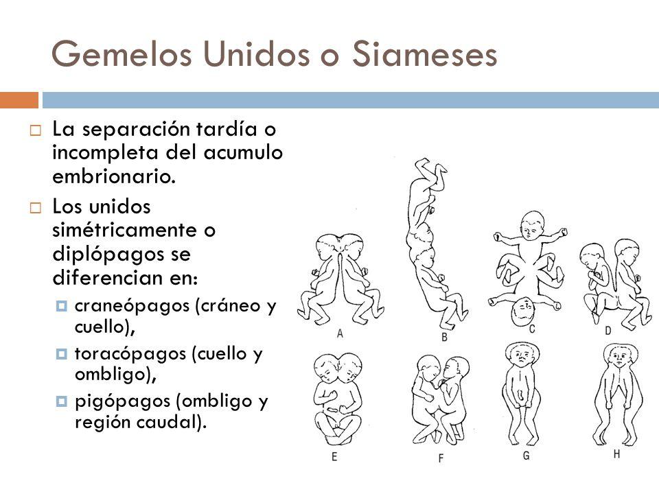 Gemelos Unidos o Siameses La separación tardía o incompleta del acumulo embrionario. Los unidos simétricamente o diplópagos se diferencian en: craneóp