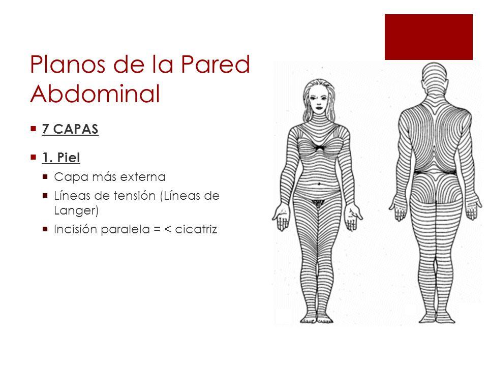 Planos de la Pared Abdominal 7 CAPAS 1. Piel Capa más externa Líneas de tensión (Líneas de Langer) Incisión paralela = < cicatriz