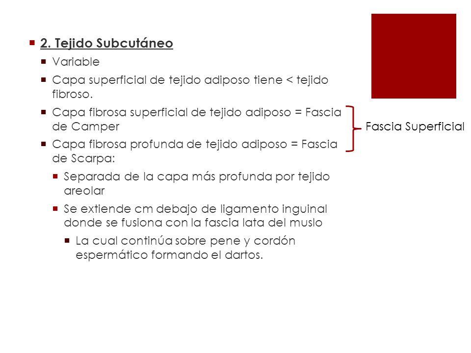 2. Tejido Subcutáneo Variable Capa superficial de tejido adiposo tiene < tejido fibroso. Capa fibrosa superficial de tejido adiposo = Fascia de Camper