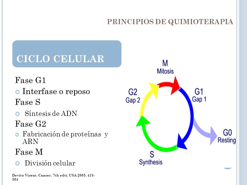 PRINCIPIOS DE QUIMIOTERAPIA Fase G1 Interfase o reposo Fase S Síntesis de ADN Fase G2 Fabricación de proteínas y ARN Fase M División celular CICLO CEL