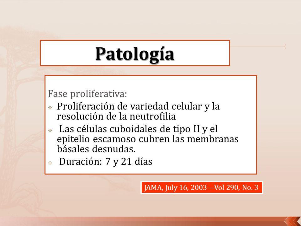 Fase proliferativa: Proliferación de variedad celular y la resolución de la neutrofilia Las células cuboidales de tipo II y el epitelio escamoso cubre