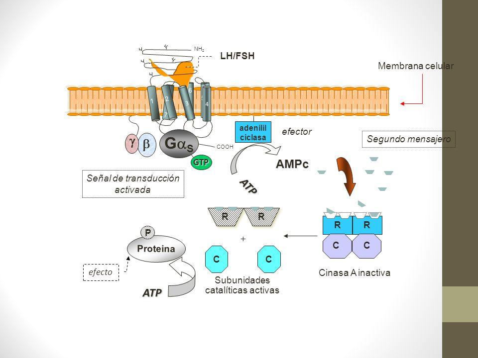 RR CC + Subunidades catalíticas activas ATP P Proteina efecto ATP efector AMPc adeniIil ciclasa Segundo mensajero RR CC Cinasa A inactiva COOH 7 LH/FS