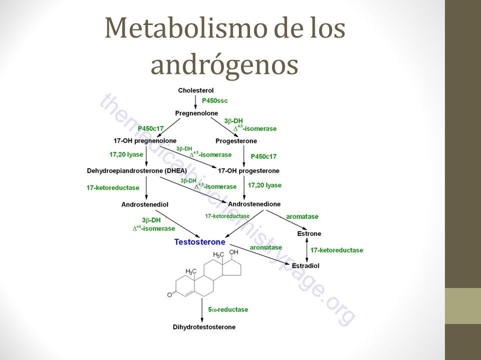 Metabolismo de los andrógenos