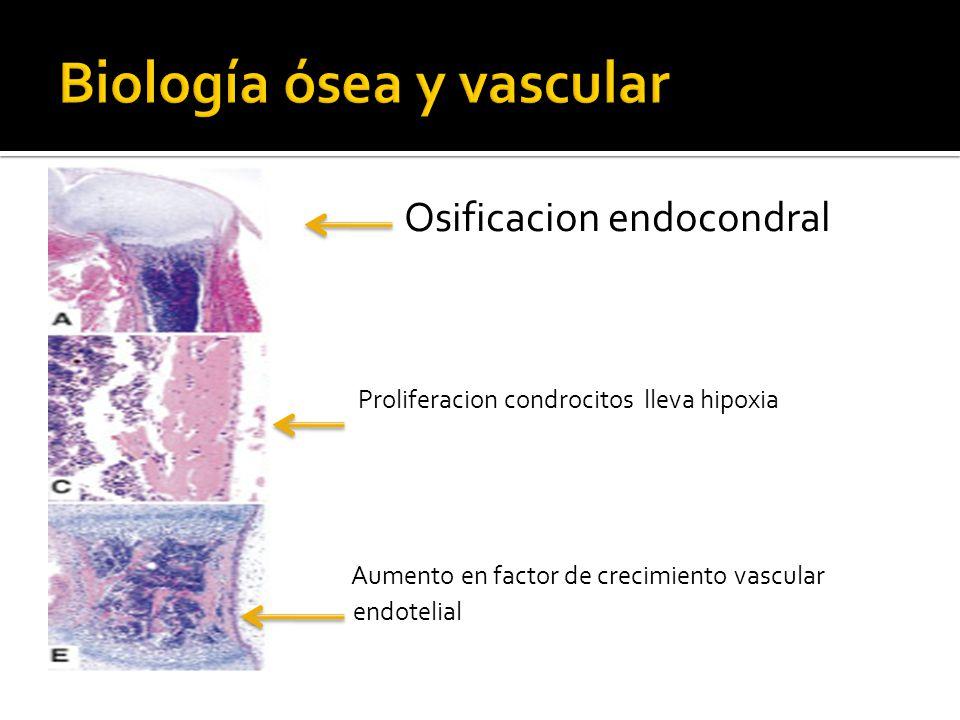 Osificacion endocondral Proliferacion condrocitos lleva hipoxia Aumento en factor de crecimiento vascular endotelial