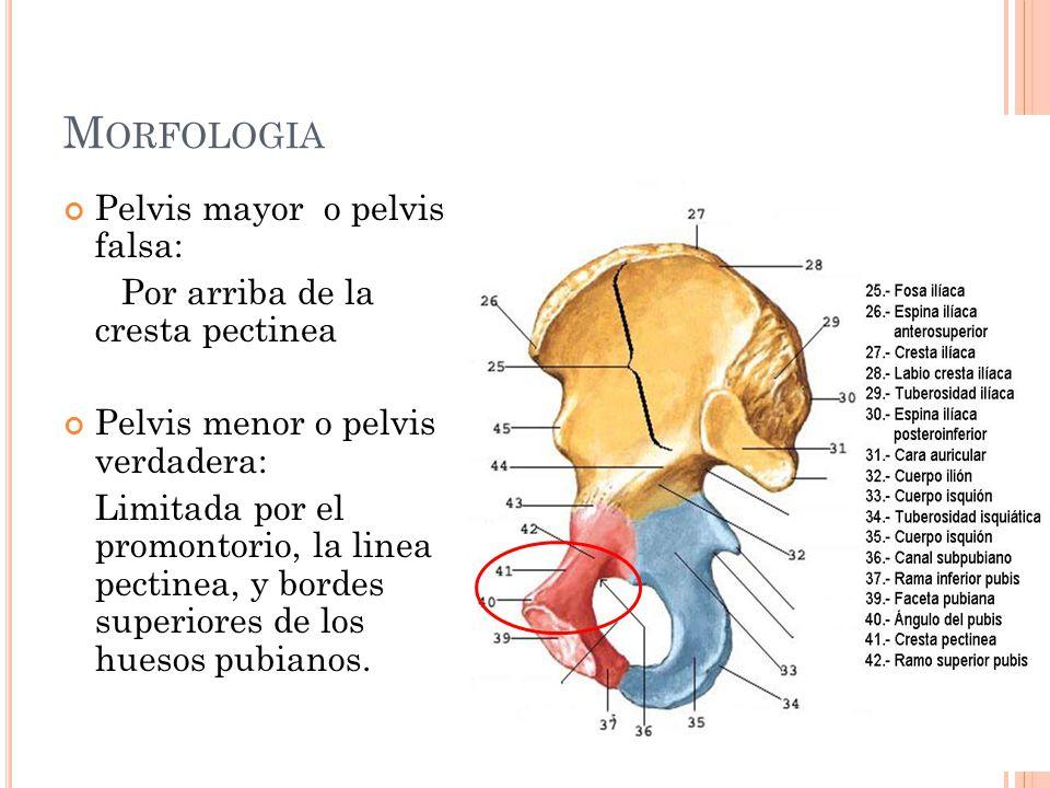 M ORFOLOGIA Pelvis mayor o pelvis falsa: Por arriba de la cresta pectinea Pelvis menor o pelvis verdadera: Limitada por el promontorio, la linea pecti
