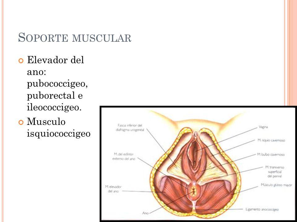 S OPORTE MUSCULAR Elevador del ano: pubococcigeo, puborectal e ileococcigeo. Musculo isquiococcigeo