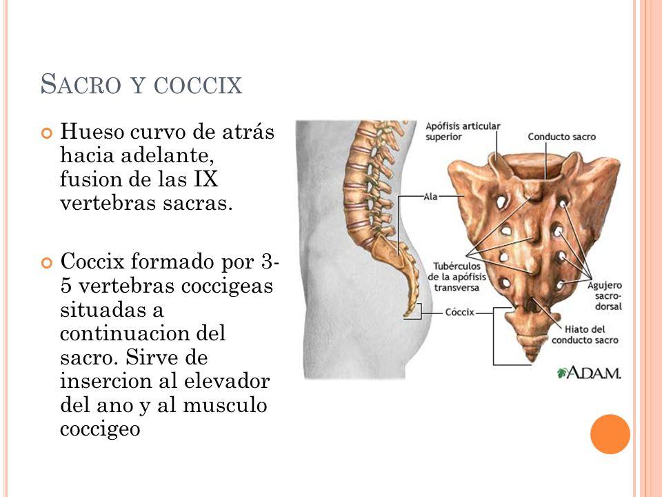 S ACRO Y COCCIX Hueso curvo de atrás hacia adelante, fusion de las IX vertebras sacras. Coccix formado por 3- 5 vertebras coccigeas situadas a continu