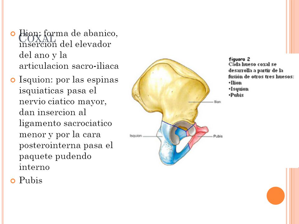 C OXAL Ilion: forma de abanico, insercion del elevador del ano y la articulacion sacro-iliaca Isquion: por las espinas isquiaticas pasa el nervio ciat
