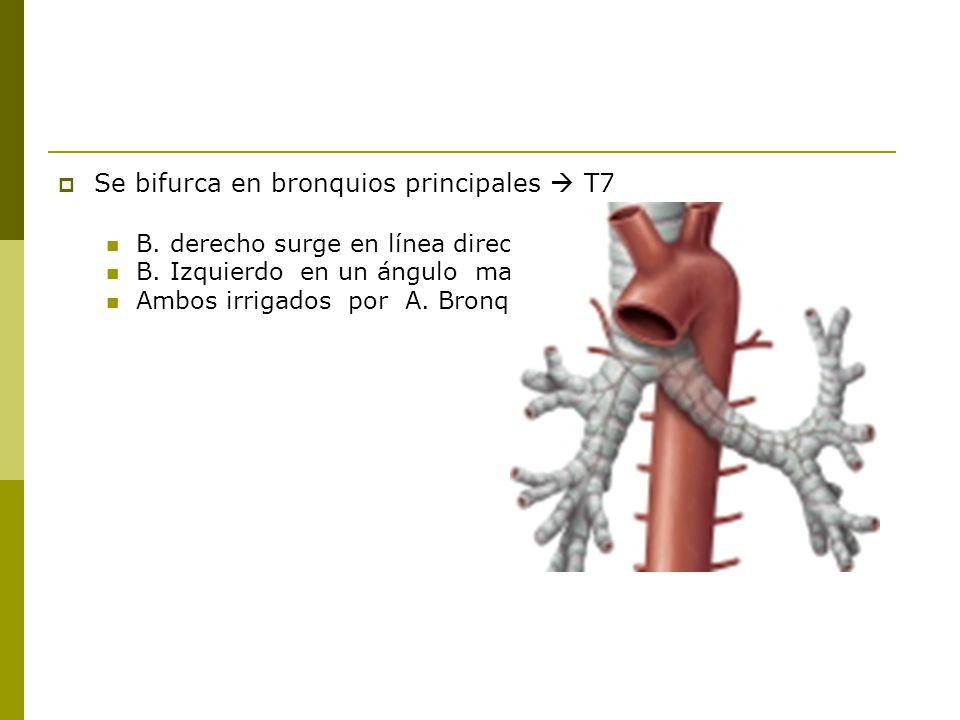 Se bifurca en bronquios principales T7 B.derecho surge en línea directa con la traquea (1.2cm) B.