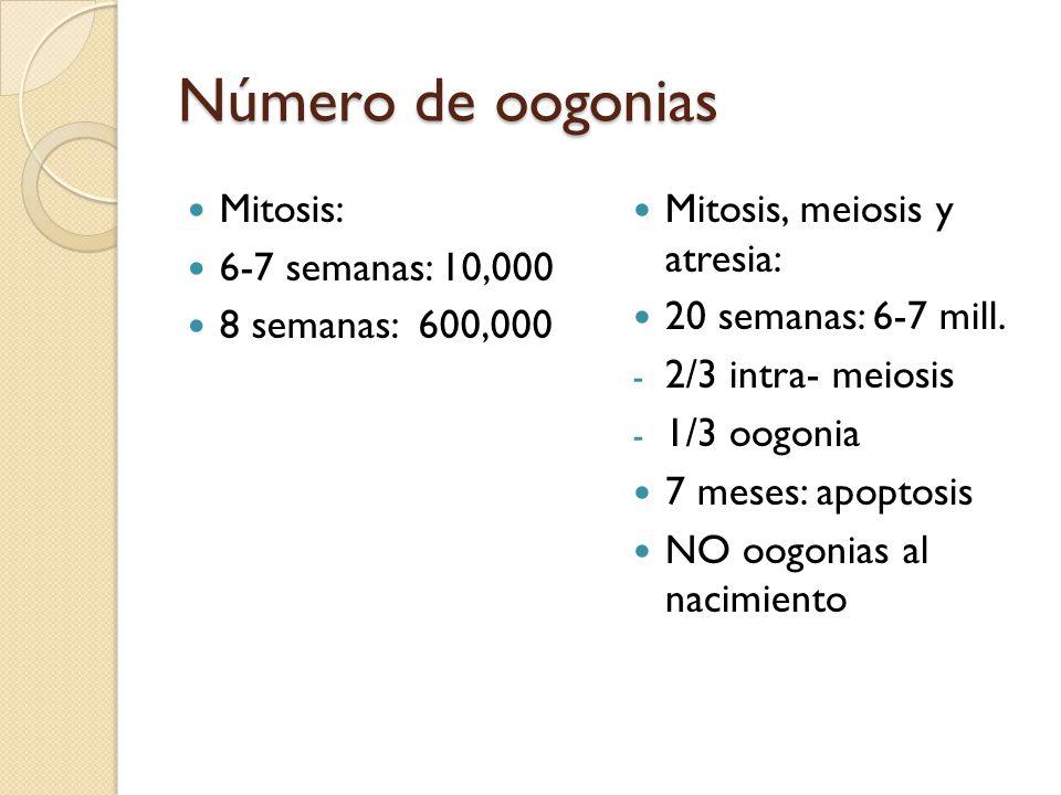 Número de oogonias Mitosis: 6-7 semanas: 10,000 8 semanas: 600,000 Mitosis, meiosis y atresia: 20 semanas: 6-7 mill.