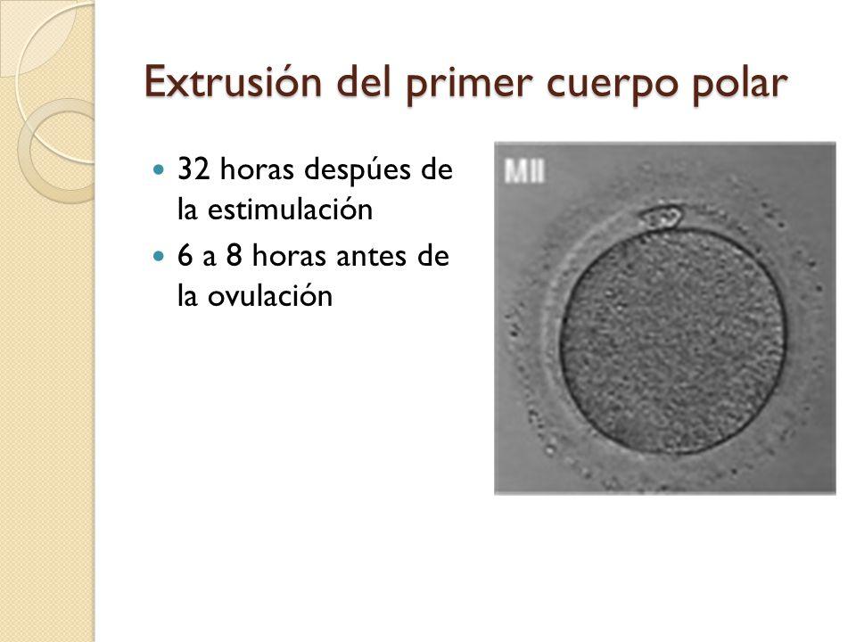 Extrusión del primer cuerpo polar 32 horas despúes de la estimulación 6 a 8 horas antes de la ovulación