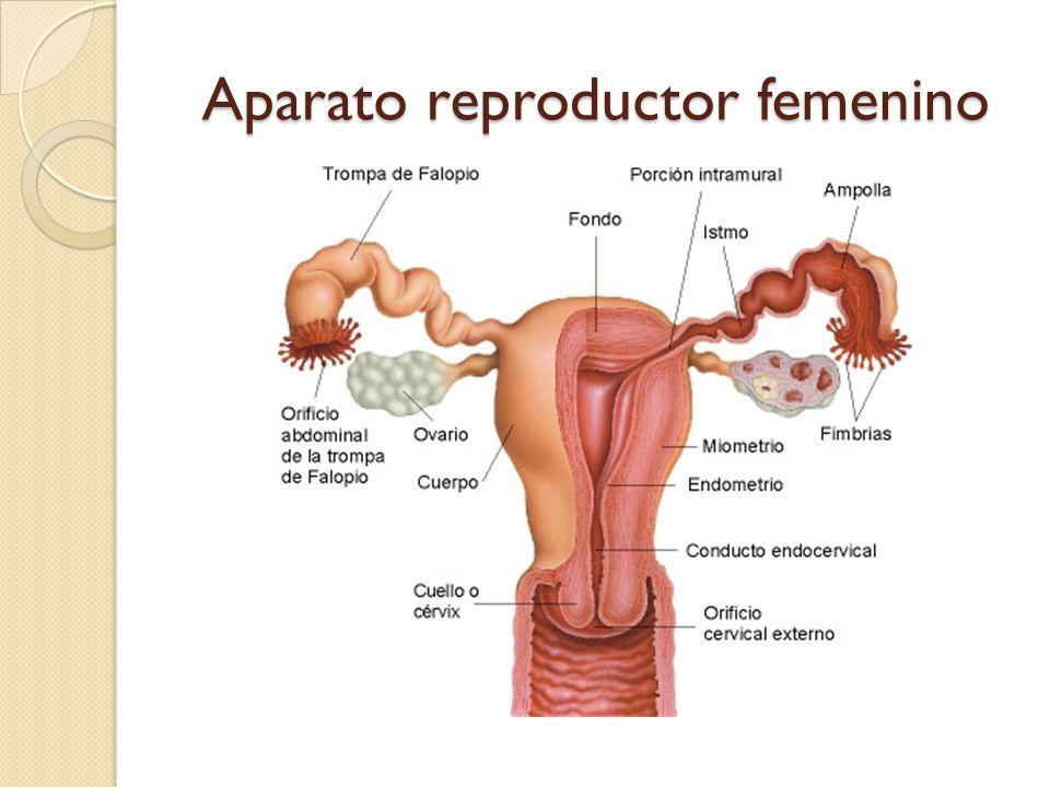 Aparato reproductor femenino