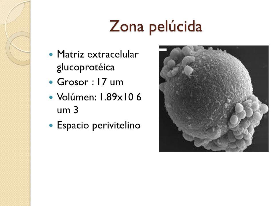 Zona pelúcida Matriz extracelular glucoprotéica Grosor : 17 um Volúmen: 1.89x10 6 um 3 Espacio perivitelino