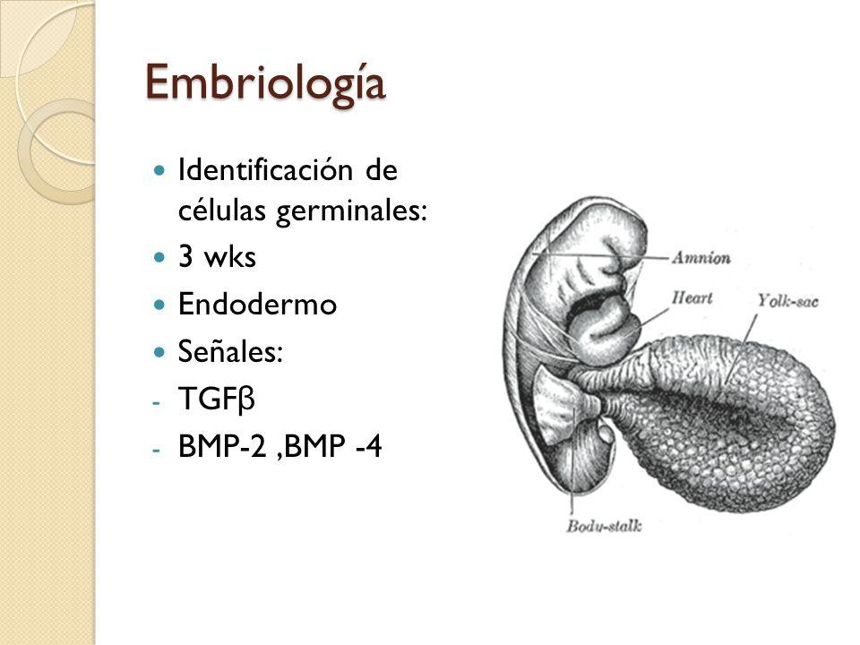 Embriología Identificación de células germinales: 3 wks Endodermo Señales: - TGF β - BMP-2,BMP -4