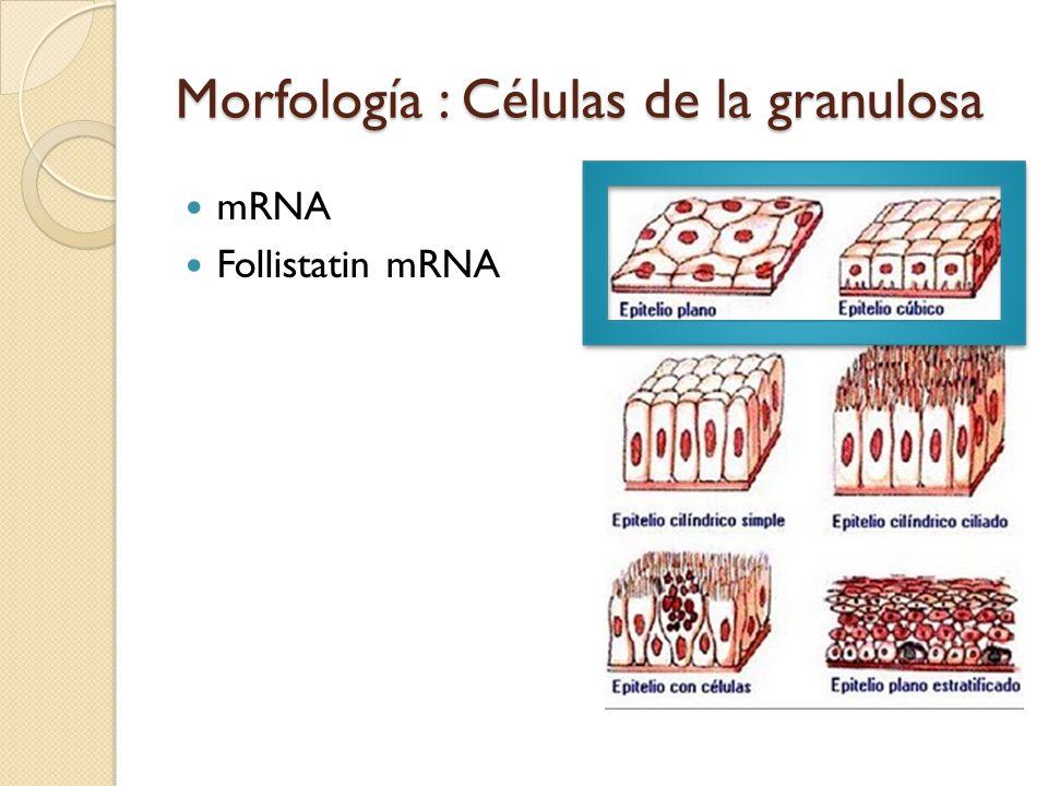 Morfología : Células de la granulosa mRNA Follistatin mRNA