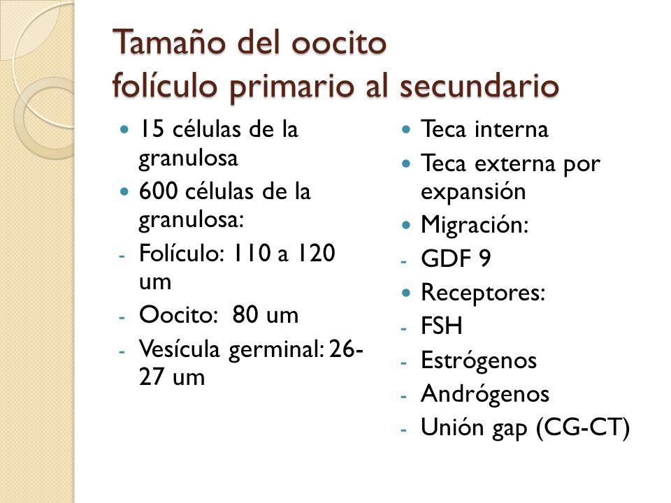 Tamaño del oocito folículo primario al secundario 15 células de la granulosa 600 células de la granulosa: - Folículo: 110 a 120 um - Oocito: 80 um - Vesícula germinal: 26- 27 um Teca interna Teca externa por expansión Migración: - GDF 9 Receptores: - FSH - Estrógenos - Andrógenos - Unión gap (CG-CT)