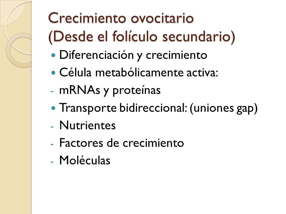 Crecimiento ovocitario (Desde el folículo secundario) Diferenciación y crecimiento Célula metabólicamente activa: - mRNAs y proteínas Transporte bidireccional: (uniones gap) - Nutrientes - Factores de crecimiento - Moléculas