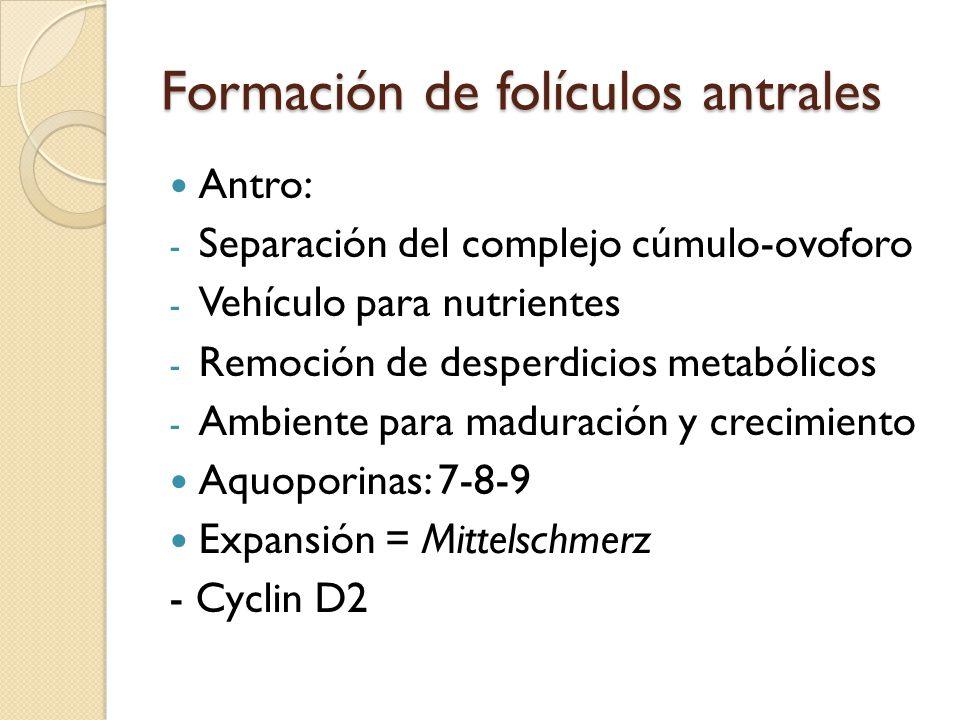 Formación de folículos antrales Antro: - Separación del complejo cúmulo-ovoforo - Vehículo para nutrientes - Remoción de desperdicios metabólicos - Ambiente para maduración y crecimiento Aquoporinas: 7-8-9 Expansión = Mittelschmerz - Cyclin D2