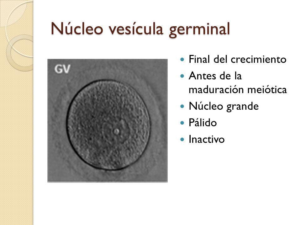 Núcleo vesícula germinal Final del crecimiento Antes de la maduración meiótica Núcleo grande Pálido Inactivo