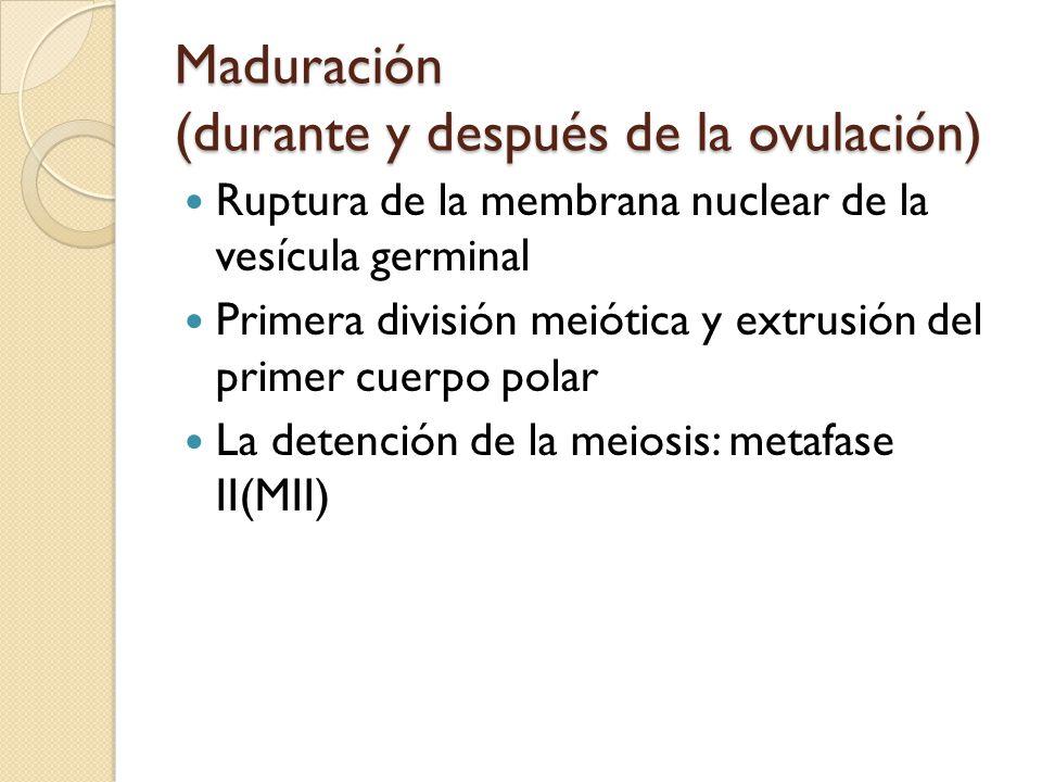 Maduración (durante y después de la ovulación) Ruptura de la membrana nuclear de la vesícula germinal Primera división meiótica y extrusión del primer cuerpo polar La detención de la meiosis: metafase II(MII)