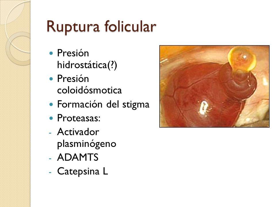 Ruptura folicular Presión hidrostática(?) Presión coloidósmotica Formación del stigma Proteasas: - Activador plasminógeno - ADAMTS - Catepsina L