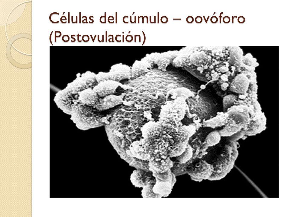 Células del cúmulo – oovóforo (Postovulación)
