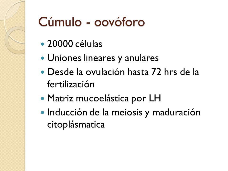Cúmulo - oovóforo 20000 células Uniones lineares y anulares Desde la ovulación hasta 72 hrs de la fertilización Matriz mucoelástica por LH Inducción de la meiosis y maduración citoplásmatica