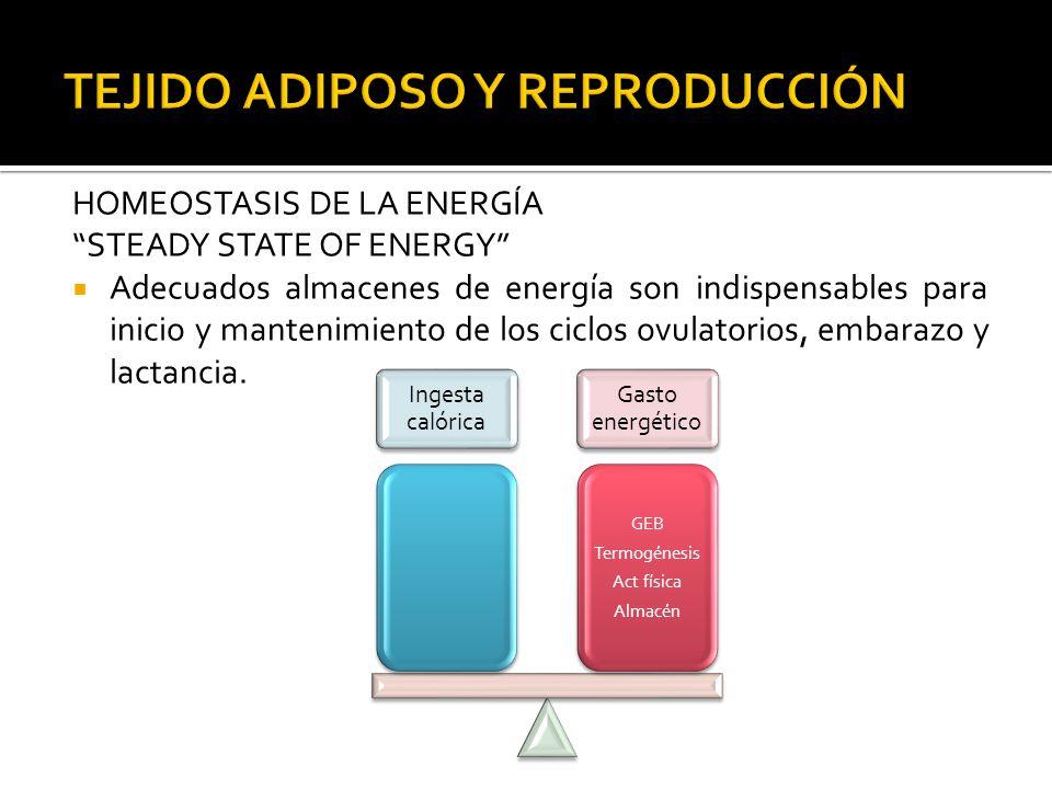 HOMEOSTASIS DE LA ENERGÍA STEADY STATE OF ENERGY Adecuados almacenes de energía son indispensables para inicio y mantenimiento de los ciclos ovulatori