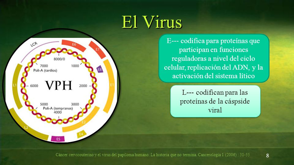 8 El Virus E--- codifica para proteínas que participan en funciones reguladoras a nivel del ciclo celular, replicación del ADN, y la activación del si