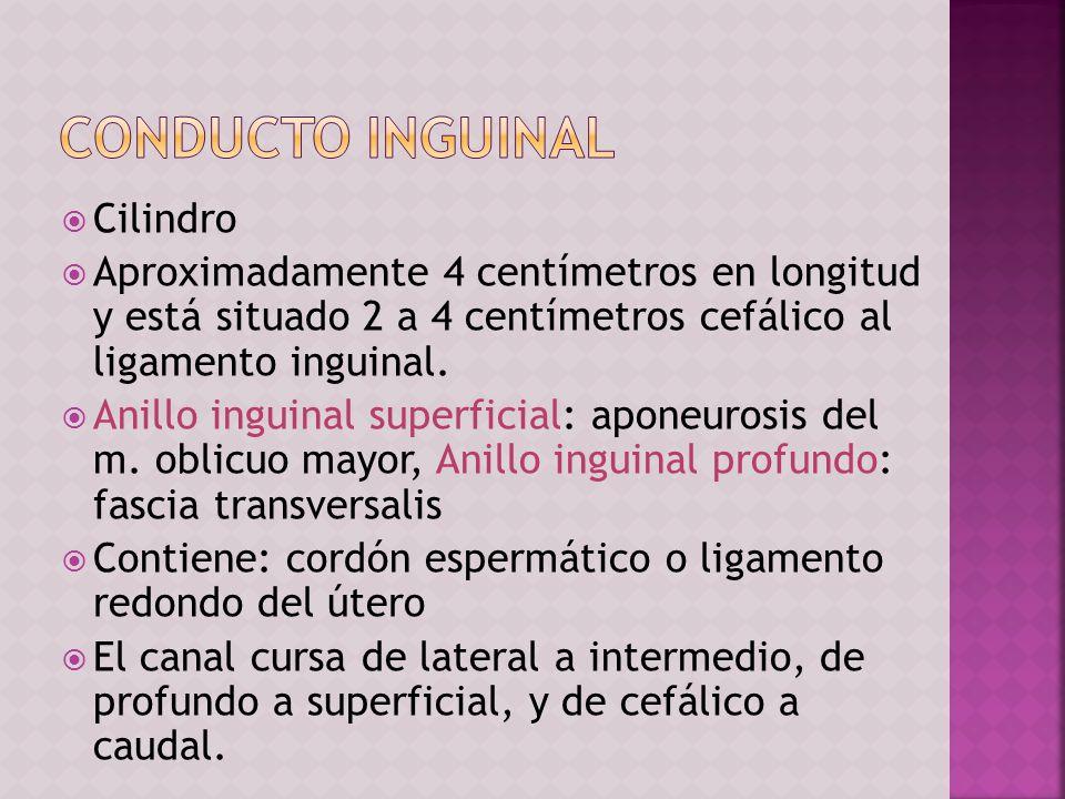 Cilindro Aproximadamente 4 centímetros en longitud y está situado 2 a 4 centímetros cefálico al ligamento inguinal. Anillo inguinal superficial: apone