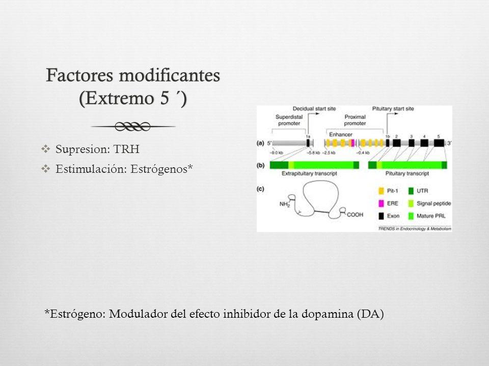 Factores modificantes (Extremo 5 ´) Supresion: TRH Estimulación: Estrógenos* *Estrógeno: Modulador del efecto inhibidor de la dopamina (DA)