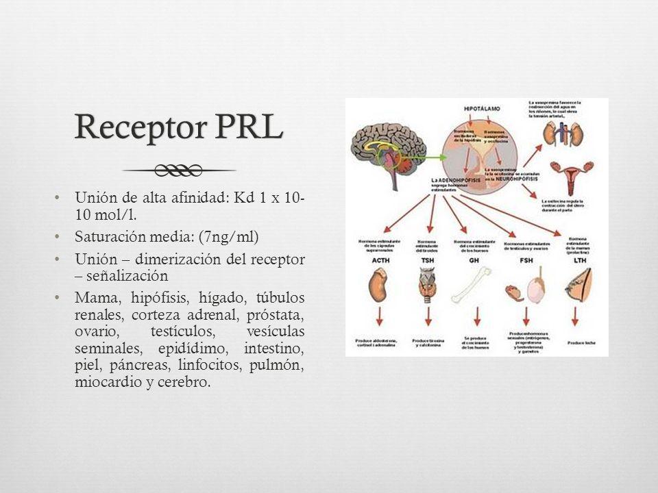 Receptor PRLReceptor PRL Unión de alta afinidad: Kd 1 x 10- 10 mol/l.