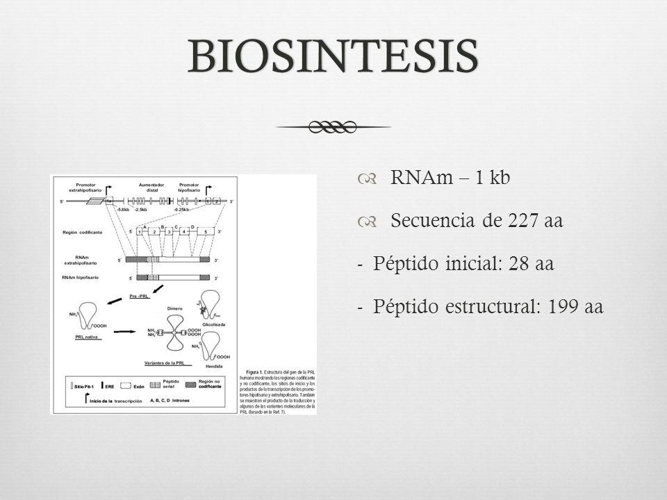 BIOSINTESIS RNAm – 1 kb Secuencia de 227 aa - Péptido inicial: 28 aa - Péptido estructural: 199 aa