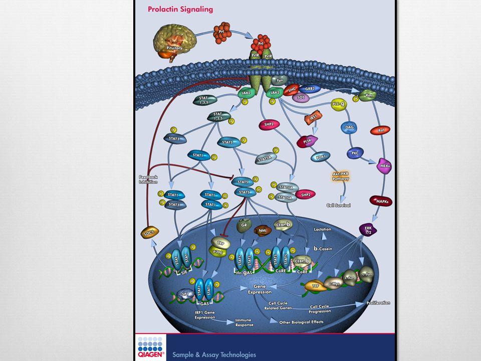 Receptor PRLReceptor PRL Clase 1 de la familia de receptores citoquinas.