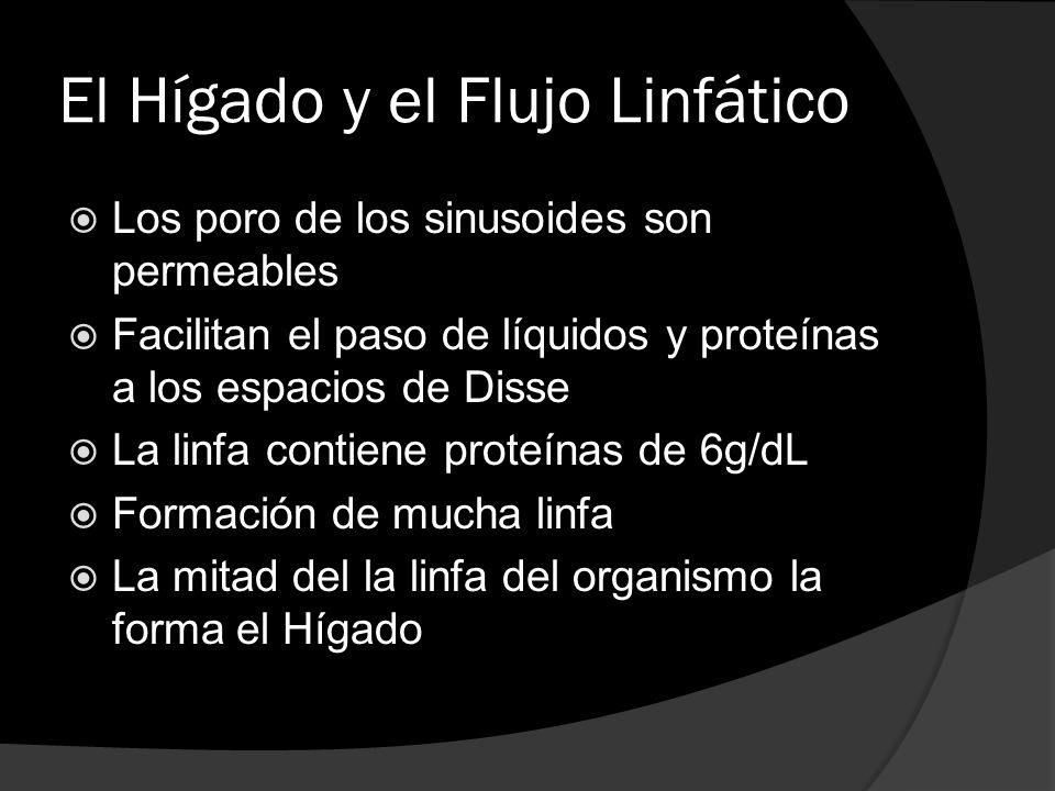 El Hígado y el Flujo Linfático Los poro de los sinusoides son permeables Facilitan el paso de líquidos y proteínas a los espacios de Disse La linfa co