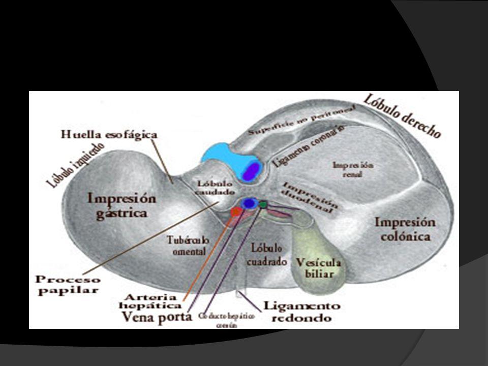 El hígado como deposito de sangre Órgano expandible El volumen normal de venas hepáticas como de sinusoides es de 450cc (10%) Si la presión en la auricula derecha aumenta, este se expande y aloja 0.5 lt mas en venas y sinusoides Insuficiencia Cardiaca con congestión periférica