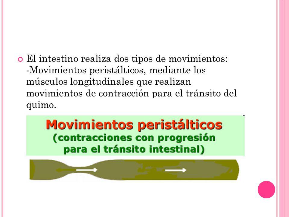 El intestino realiza dos tipos de movimientos: -Movimientos peristálticos, mediante los músculos longitudinales que realizan movimientos de contracció