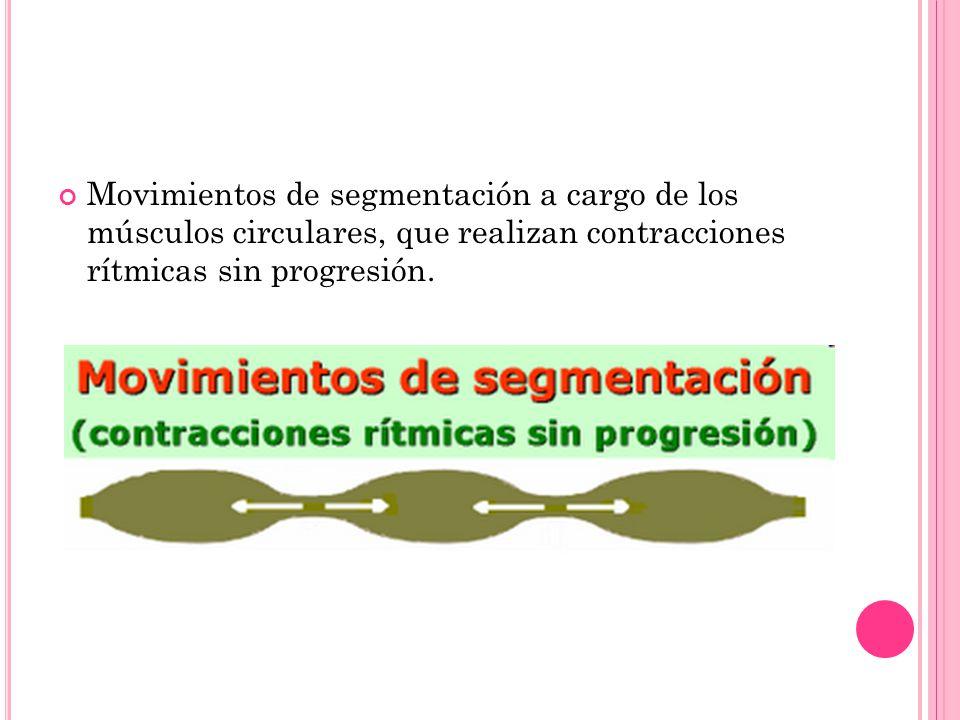 Movimientos de segmentación a cargo de los músculos circulares, que realizan contracciones rítmicas sin progresión.