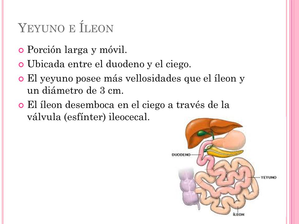 Y EYUNO E Í LEON Porción larga y móvil. Ubicada entre el duodeno y el ciego. El yeyuno posee más vellosidades que el íleon y un diámetro de 3 cm. El í