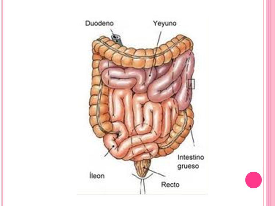 El yeyuno e íleon están suspendidos de la pared abdominal posterior por el mesenterio.