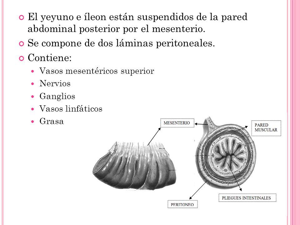 El yeyuno e íleon están suspendidos de la pared abdominal posterior por el mesenterio. Se compone de dos láminas peritoneales. Contiene: Vasos mesenté