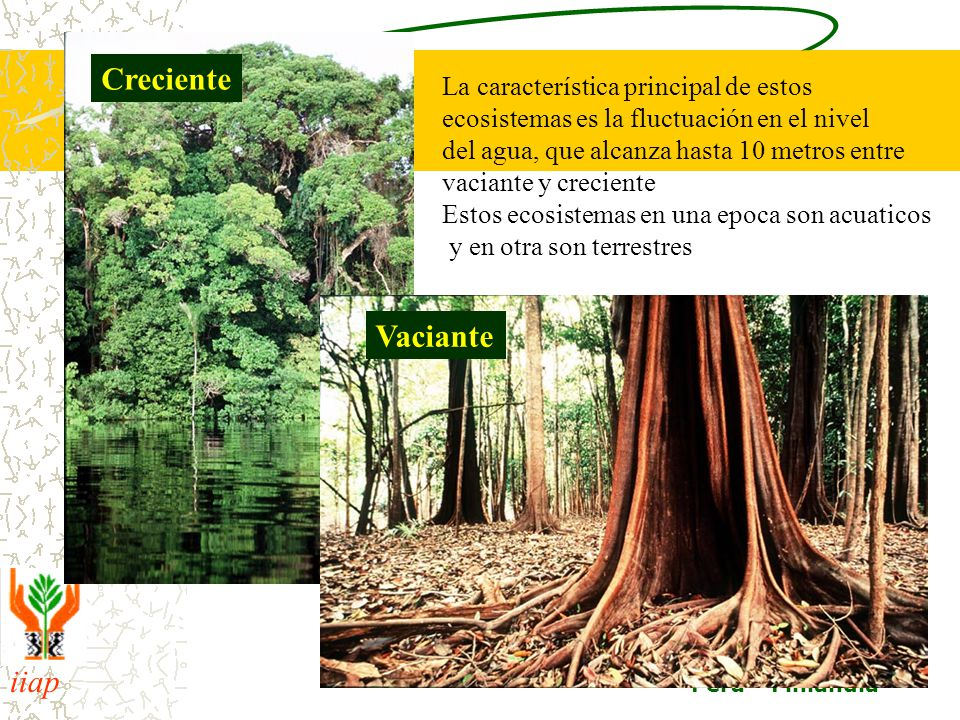iiap BIODAMAZ Peru - Finlandia Creciente Vaciante La característica principal de estos ecosistemas es la fluctuación en el nivel del agua, que alcanza