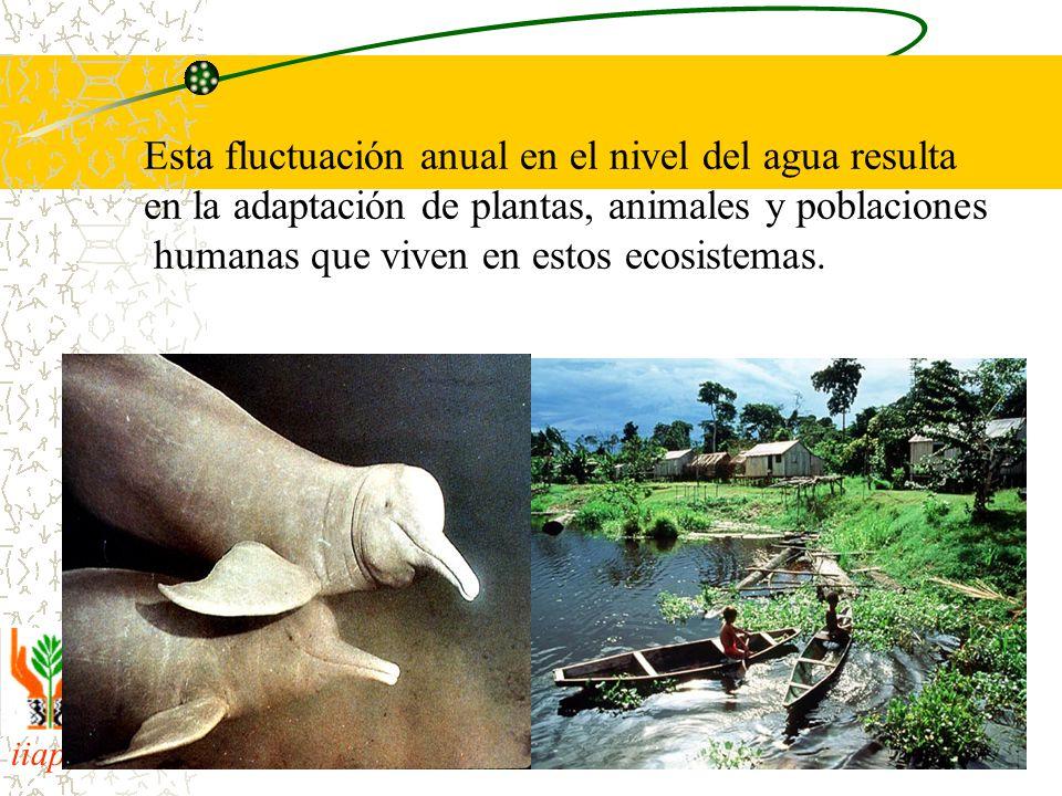 iiap BIODAMAZ Peru - Finlandia Esta fluctuación anual en el nivel del agua resulta en la adaptación de plantas, animales y poblaciones humanas que viven en estos ecosistemas.