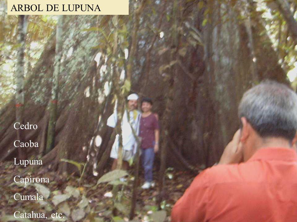 iiap BIODAMAZ Peru - Finlandia ARBOL DE LUPUNA Cedro Caoba Lupuna Capirona Cumala Catahua, etc.
