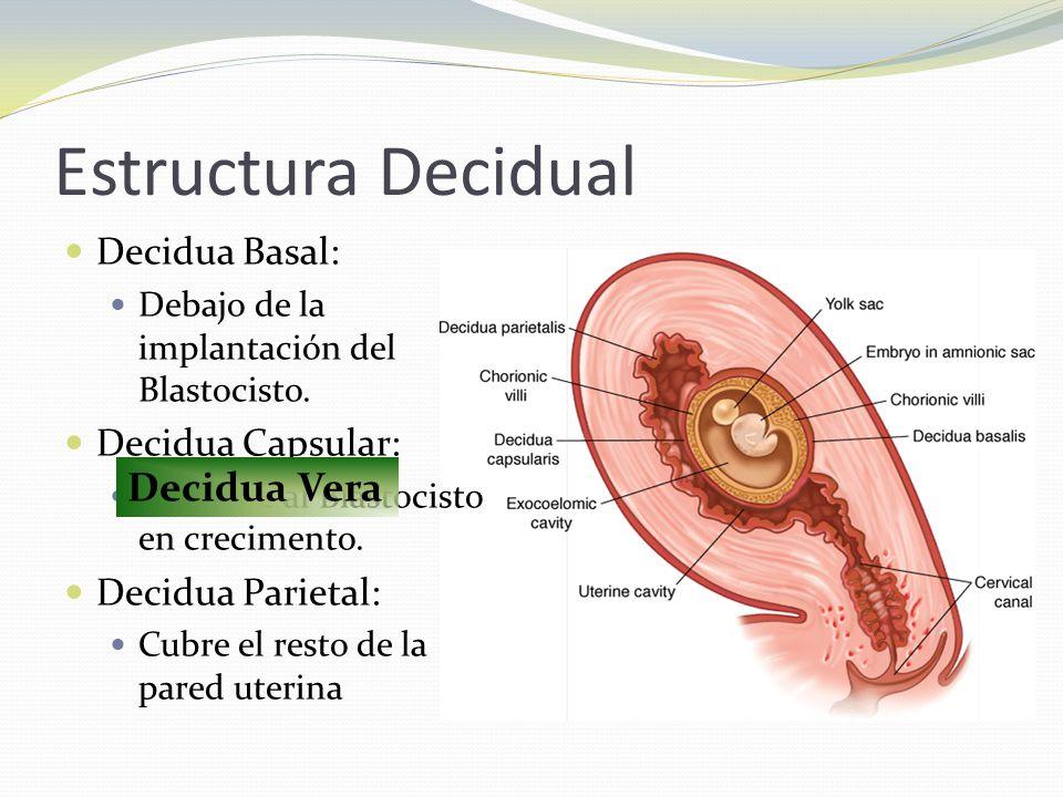 Estructura Decidual Decidua Basal: Debajo de la implantación del Blastocisto. Decidua Capsular: Envuelve al Blastocisto en crecimento. Decidua Parieta