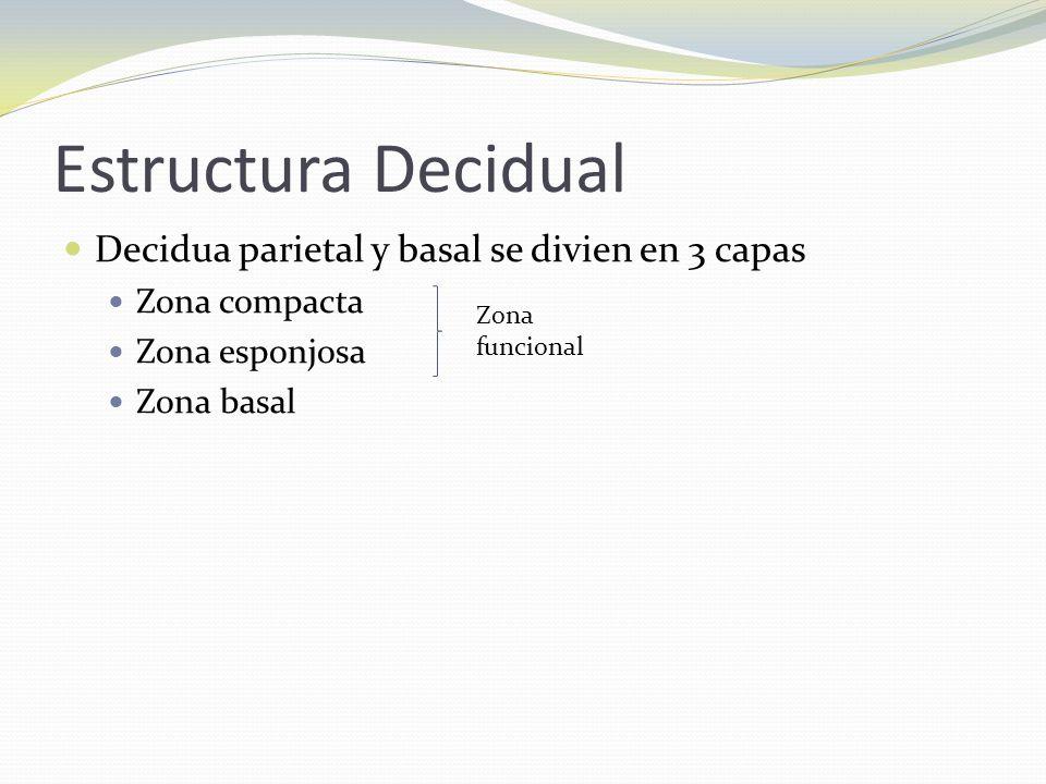 Estructura Decidual Decidua parietal y basal se divien en 3 capas Zona compacta Zona esponjosa Zona basal Zona funcional