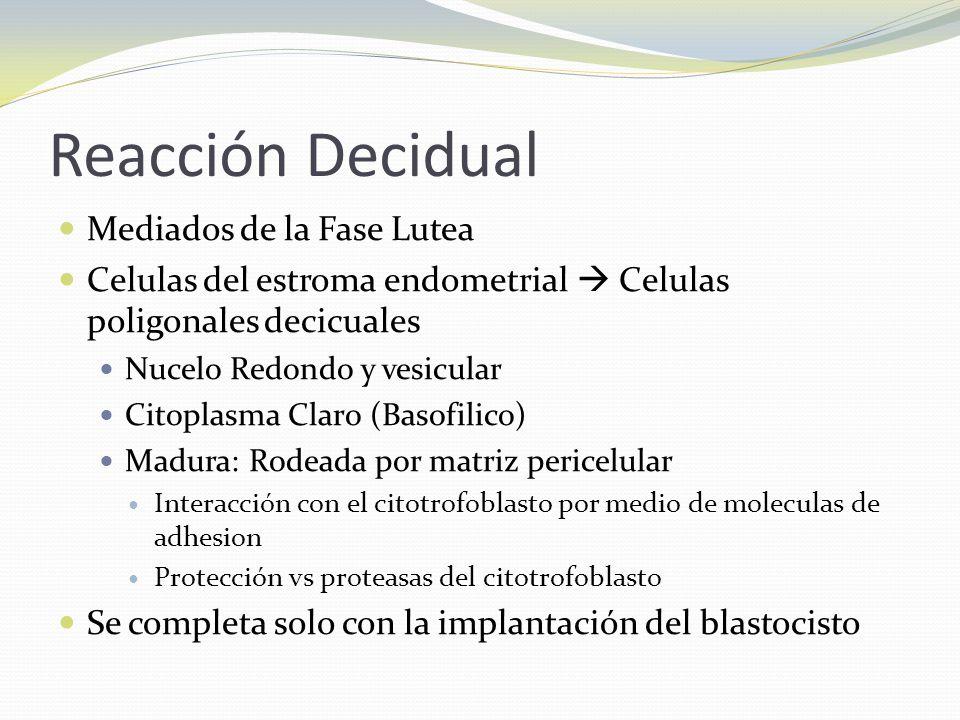 Reacción Decidual Mediados de la Fase Lutea Celulas del estroma endometrial Celulas poligonales decicuales Nucelo Redondo y vesicular Citoplasma Claro